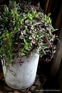 フローラのガーデニング・園芸作業日記-ルビーネックレスの寄せ植え