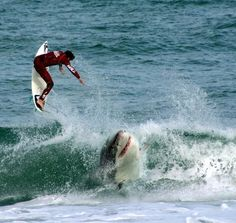 amazing shark images | ... The Great White is grey in colour on the top, and white underneath