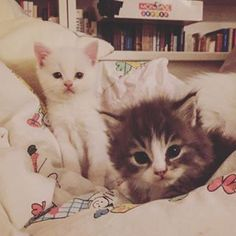 Who wouldt want these two creatures in bed White Kittens, Albino, Cosy, Super Cute, Creatures, Photo And Video, Bed, Animals, Instagram