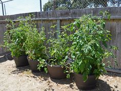 Growing Tomatoes In Pots Growing vegetables in pots for beginners: Choosing the *right containers for your urban container garden can make your limited space productive. Vegetable Garden For Beginners, Starting A Vegetable Garden, Gardening For Beginners, Gardening Tips, Indoor Gardening, Growing Vegetables In Containers, Container Gardening Vegetables, Vegetable Gardening, Fresh Vegetables