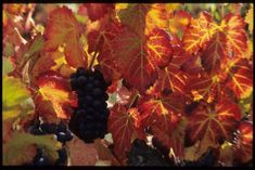 Les couleurs de l'#automne et le #raisin a point dans le #beaujolais... une #saison à ne pas manquer à tous points de vue #couleur #orange #color #numelyo