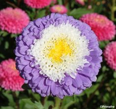 China Aster 'Pompon'