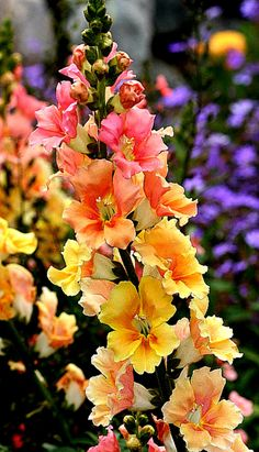 love snapdragon…these look like a snapdragon fell in love with a hollyhock Snapdragon 'Chantilly Peach' (Antirrhinum majus).love snapdragon…these look like a snapdragon fell in love with a hollyhock Antirrhinum, Hollyhock, My Secret Garden, Plantation, Dream Garden, Garden Inspiration, Garden Plants, Garden Hedges, Garden Pond