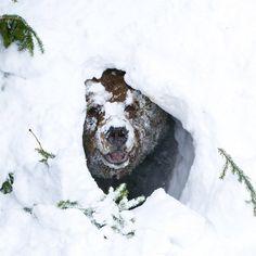 bear coming out of hibernation