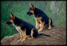 german shepherds puppies by Ronnie (Ronit) Fitucci, via Flickr