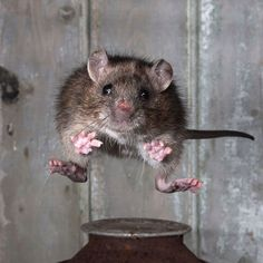 Roy Rimmer, of Wigan, Greater Manchester, won the Mammal Society Mammal Photographer of the Year competition by freezing the motion of a jumping brown rat.   Picture: Roy Rimmer/The Mammal Society / Rex Features