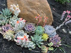 https://www.etsy.com/listing/99582091/12-great-succulent-plants-perfect-for?ref=sr_gallery_41