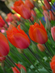 İstanbulda lale zamanı Tulips time in İstanbul  #red #green #tulips #flower #istanbul #Türkiye #Emirgan #kırmızı #yeşil #lale #çiçekler