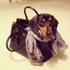 Doxie, Prada bag + Alexander McQueen scarf = i'll take it all please!!  Holly would do this to onyx if she could find a bag big enough for him