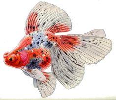 Calico Veiltail, illustration by Merlin Cunliffe, 1990 Aquariums, Gold Fish Painting, Goldfish Pond, Koi Art, Golden Fish, Fish Illustration, Beautiful Fish, Fish Print, Betta Fish