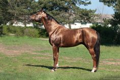 Don - stallion Тибул 246 (Tibul 246)