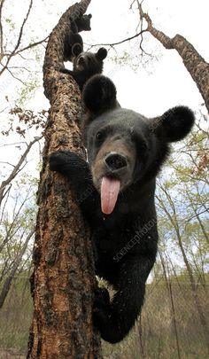 We licked everybody and we can lick you, . How many cubs? Asian Black Bear, Black Bear Cub, Cute Baby Animals, Animals And Pets, Funny Animals, Wild Animals, Bear Pictures, Cute Animal Pictures, Bear Photos
