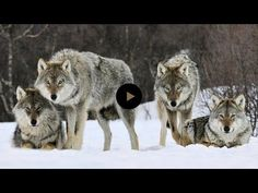 They Released 14 Wolves In A Park. But No One Was Prepared For THIS. What Happens Next Is A Miracle And Proves That We Must Take Care Of Our Amazing Planet.