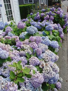 Hydrangea shrubs along the house Flora, My Secret Garden, Dream Garden, Garden Inspiration, Garden Ideas, Beautiful Gardens, Garden Plants, Shrubs, Gardening Tips