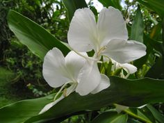 Ginger Lilies, (Hedychium coronarium)-is native to Nepal & India.The fragrant flowers are intoxicatingly sweet, with narcotic like heady effects when inhaled.Ginger lilies are used in perfumery, Ayurvedic medicine,& to create fragrant garlands.