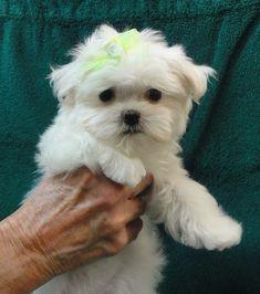 Maggie at 12 weeks old. Her favorite color is green. Maltese #maltese