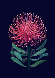 Leucospermum Limited Edition Print by Australian artist Lamai Anne. Bring the Australian outdoors into your home. Australian Wildflowers, Australian Native Flowers, Australian Artists, Australian Art For Kids, Australian Animals, Watercolor Wallpaper, Watercolor Art, Botanical Illustration, Illustration Art
