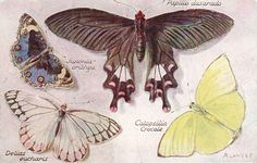 PULL OUT Butterfly papillon