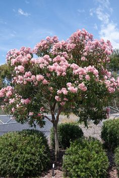 Softly softly: Eucalyptus ficifolia 'Fairy Floss' Grafted – Mallee Design – Alternative Home Australian Garden Design, Australian Native Garden, Australian Native Flowers, Australian Plants, Street Trees, Succulent Gardening, Garden Landscape Design, Garden Cottage, Garden Trees