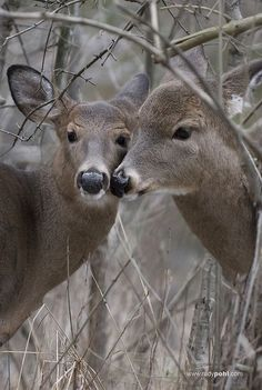 cant waiting to go deer hunting Especie Animal, Mundo Animal, Animal Heads, Beautiful Creatures, Animals Beautiful, Cute Animals, Wild Animals, Baby Animals, Bambi