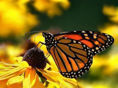 Hosting the Monarch butterfly