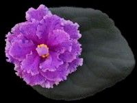 African violet - Bold Party Girl -   Lovely, large, lavender/pink double stars, with a hint of a fuchsia in the center. The wide pink edge is heavily fringed. Each flower face is speckled with blue fantasy. The standard foliage is medium green and lightly quilted.  2nd Best New Cultivar, 2007 AVSA convention in Denver  AVSA Reg. #9918  (LLG)  https://www.facebook.com/llgreenhouses