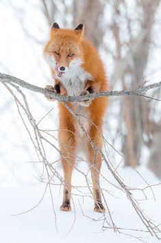 Red Fox by Денис Будьков - Denis Budkov on 500px