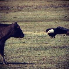 I was blessed to witness an encounter between a momma cow and an eagle as she was protecting and mourning her dead baby!