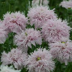 Buy opium poppy Papaver somniferum Lilac Pompom: Delivery by Crocus.co.uk