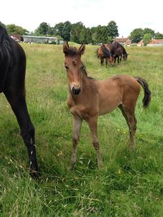 Upsall's Purple Rain 16.2, Bay Warmblood filly Rainy is a outstanding filly lots of presence about her, superb floating paces and a real look at me!! She has a superb future ahead of her, lots of potential as a future competition horse http://www.horsedeals.co.uk/detail/horses-and-ponies/horses/allrounder-dressage-event-horse-hacking-and-leisure-hunter-pony-club-riding-club-show-and-working-hunter-showjumper-sports-horse-warmblood-youngstock-and-foals/71283