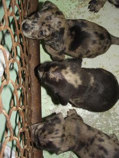 Catahoula pups en route to IL - ETA two weeks!