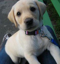 Chloe the Labrador Retriever