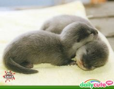 Asian otters!!! awwww