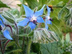 Borage 'Blue' is a great companion plant for your garden that doubles as a lovely culinary herb. Growing Herbs, Growing Vegetables, The Growers Exchange, Blue Flowers, Wild Flowers, Blue Plants, Perfect Plants, Plants Online, Plant Sale