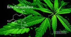Terpenoids in Hemp: Beta-Caryophyllene - https://elixinol.com/blog/terpenoids-hemp-beta-caryophyllene?utm_source=rss&utm_medium=Friendly+Connect&utm_campaign=RSS #cbd #hemp
