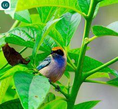 https://www.facebook.com/WonderBirdSpecies/ Burnished-buff tanager (Tangara cayana); South America; IUCN Red List of Threatened Species 3.1 : Least Concern (LC)(Loài ít quan tâm)    Chim Tanager vàng da bò bóng; Nam Mỹ; HỌ TANAGER - THRAUPIDAE (Tanagers).