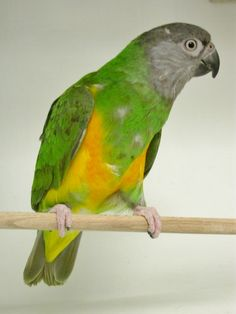 Parrot - Senegal Parrots, African, Birds, Animals, Animaux, Bird, Animal, Animales, Parrot