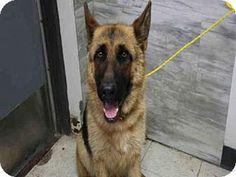Redlands, CA - German Shepherd Dog. Meet EVA, a dog for adoption. http://www.adoptapet.com/pet/15515876-redlands-california-german-shepherd-dog