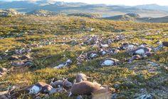 Más de 300 renos mueren en Noruega en una tormenta eléctrica