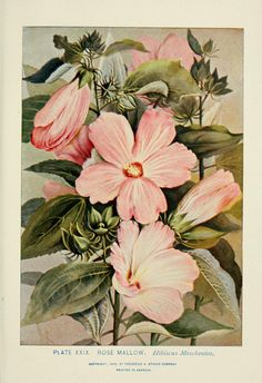 Rose Mallow (Hibiscus moscheutos). A guide to the wild flowers  New York, Stokes[1899]  Biodiversitylibrary. Biodivlibrary. BHL. Biodiversity Heritage Library