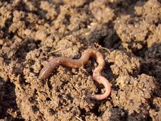 Earthworms offer many benefits to the gardener and are commonly seen in healthy, organic soils. Here's how to increase earthworms in your garden soil: Organic Mulch, Organic Gardening, Gardening Tips, Vegetable Garden Design, Garden Soil, Rotation Des Cultures, Agriculture Bio, Soil Texture, Bokashi