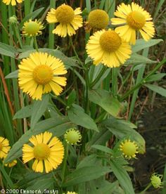 Helenium autumnale - Hélénie automnale - Sneezeweed---SHADE***PART SUN