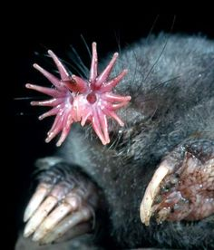 star-nose mole