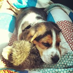 I just got a beagle puppy, so if you don't like pictures of puppies you should unfollow me now ;)