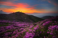 Royal Azalea & Sunrise