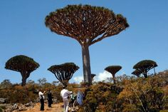 'Alien island' of Socotra, where the trees are 20 million years old - Alien UFO Sightings