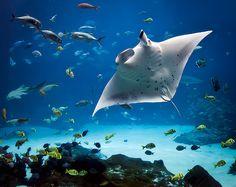 Manta rays! They're beautiful