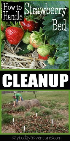 Time to clean up the strawberry beds that we planted last year in square foot gardens - DaytoDayAdventures.com