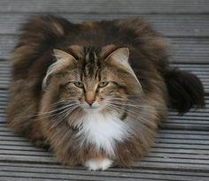 Norsk Skogkatt / Norwegian Forest Cat