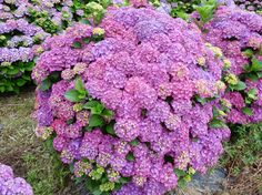 Lovely Pin by gruenestreiben de on Loki Schmidt Garten Hamburg Pinterest Limelight hydrangea Garten and Hydrangea